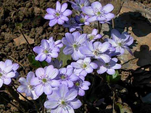 Hepatica media Blue Jewel
