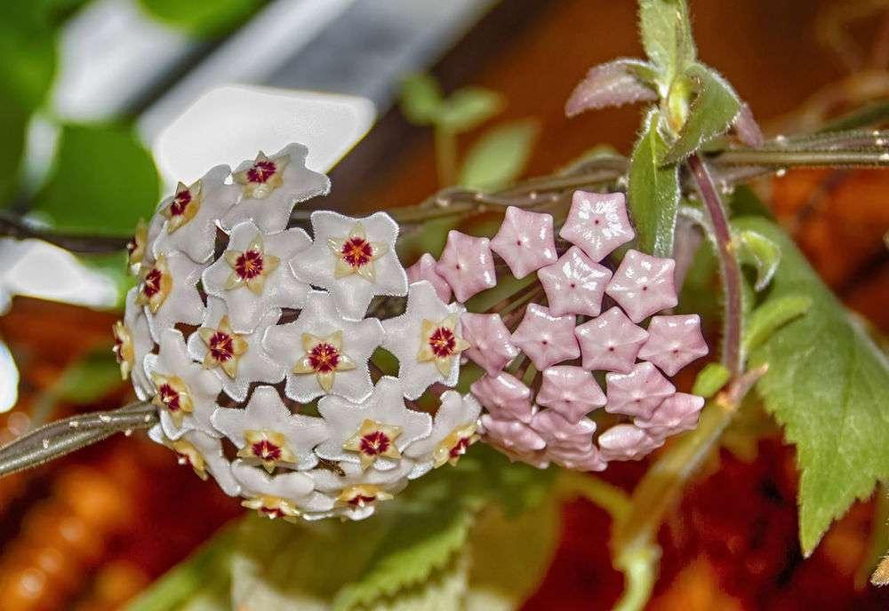 Можно ли держать дома цветок калла