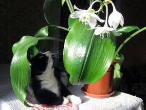 Можно ли держать лилии дома