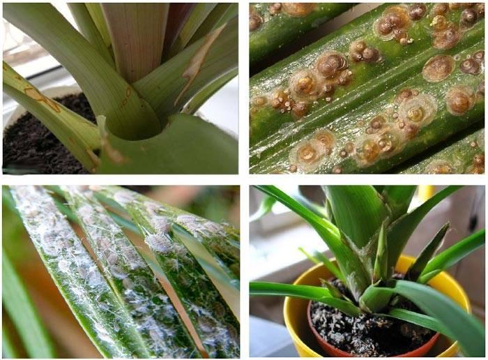 Комнатные растения гузмания