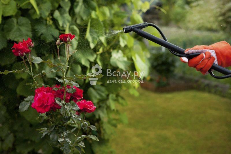 Почему у розы сохнут кончики листьев