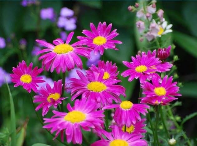 Ромашка садовая крупная многолетняя