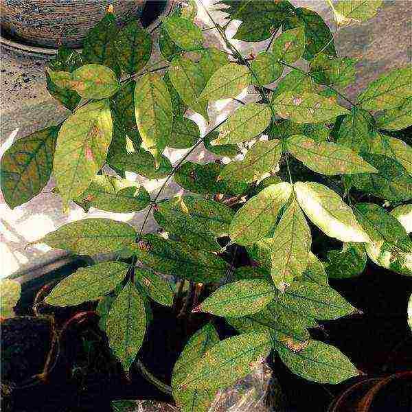 Глициния выращивание и уход в средней полосе