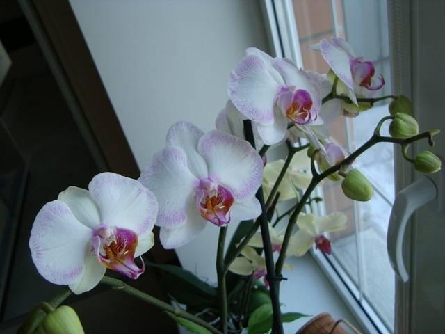 Пожелтела орхидея что делать