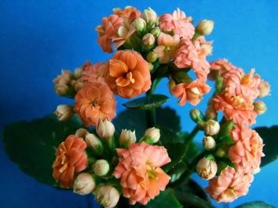 Как часто цветет каланхоэ