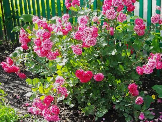 Кустистая роза посадка и уход
