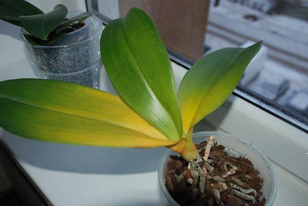 Заболевания орхидей
