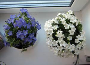 Растение жених и невеста