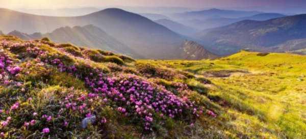 Рододендрон кавказский лечебные свойства и противопоказания