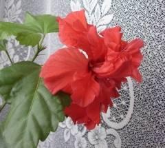Почему не цветёт китайская роза комнатная