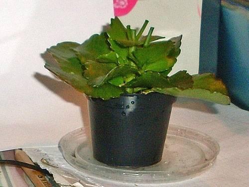 Каланхоэ цветок уход в домашних условиях