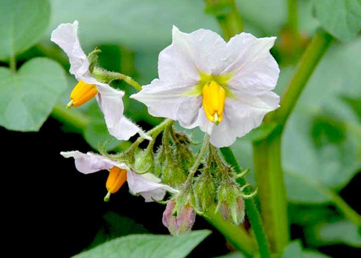 соцветия цветов картофеля