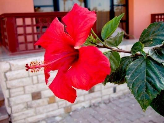 Почему не цветет китайская роза