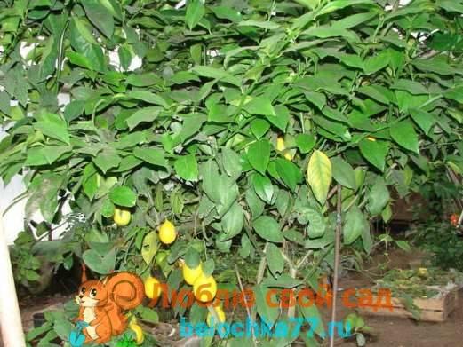 Лимон как выращивать в домашних условиях