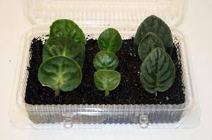 Размножение сенполий листом