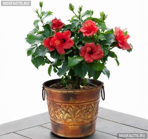 Вдовий цветок как выглядит