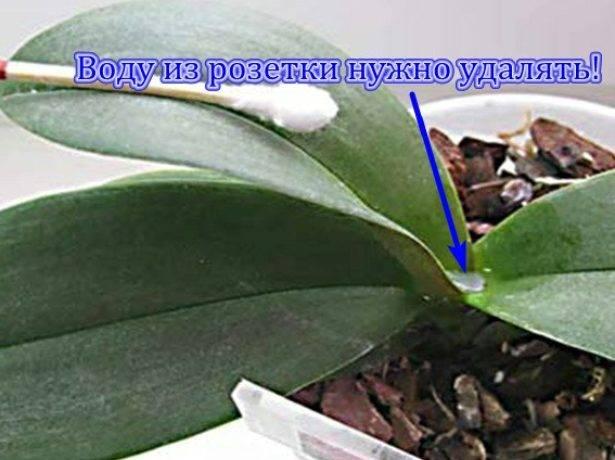 Как вырастить орхидею из цветоноса