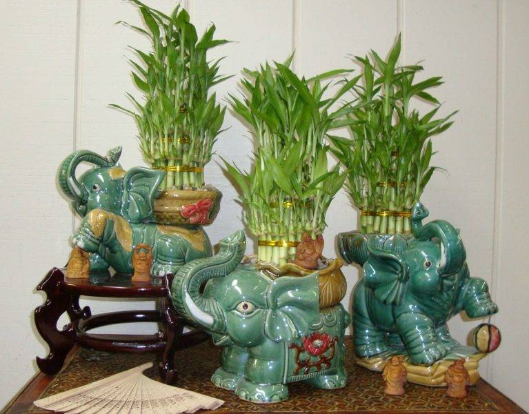 Цветок бамбук как ухаживать в домашних условиях