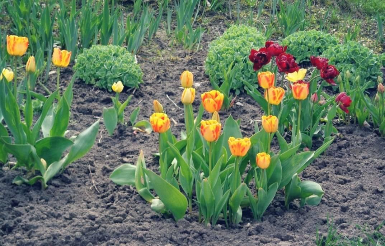 Когда пересадить тюльпаны