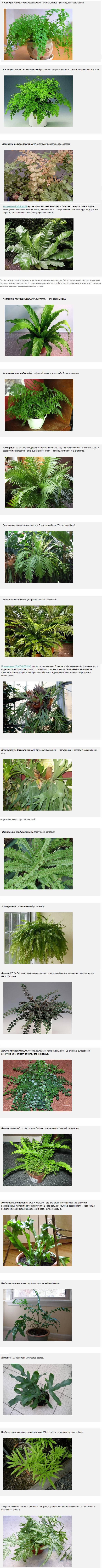 Комнатный цветок папоротник