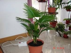 Комнатные цветы пальмы