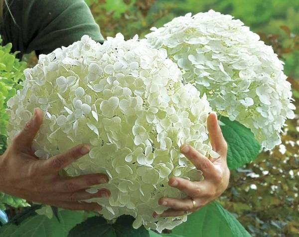 Цветет с июня по октябрь белоснежными крупными шапкоподобными соцветиями