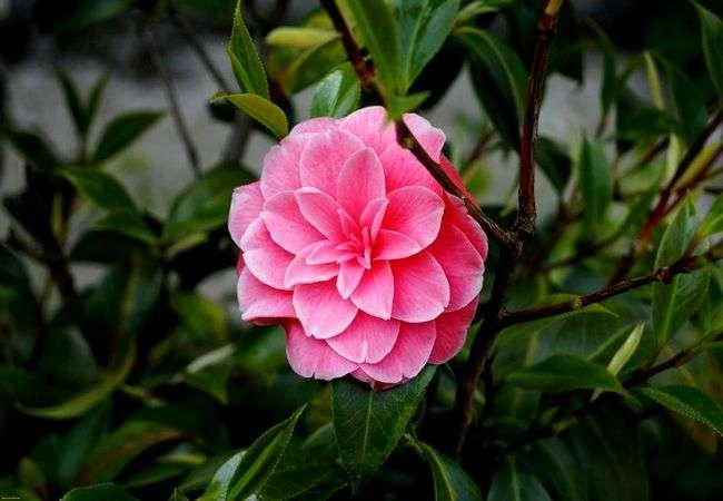 Цветок камелия уход