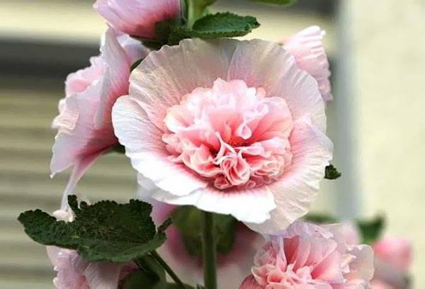Цветы мальва многолетняя размножение