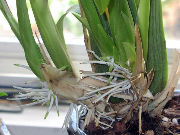 Орхидея гниют корни что делать