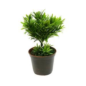Комнатное растение дерево
