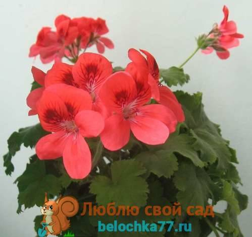 Regal Pelargonium Geranium уникум