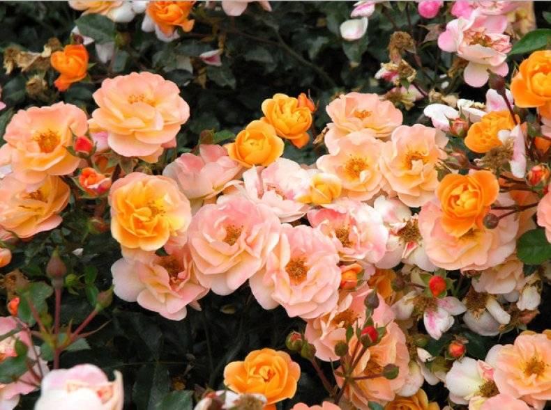 Лучшие почвопокровные розы