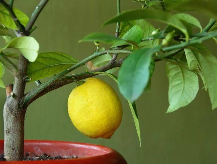 Прививка лимона