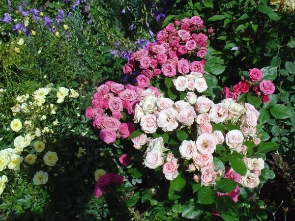 Роза алегрия спрей