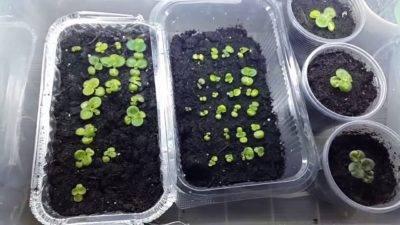 Фиалки из семян