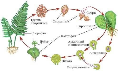 Папоротник комнатное растение