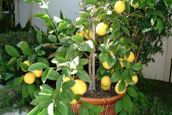 Оранжевый лимон