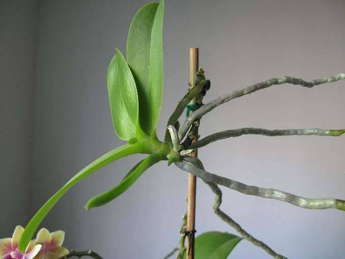 Как пересадить отросток орхидеи в домашних условиях