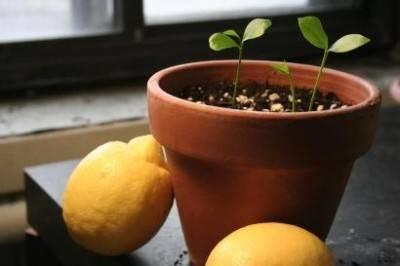Черенкование лимона в домашних условиях