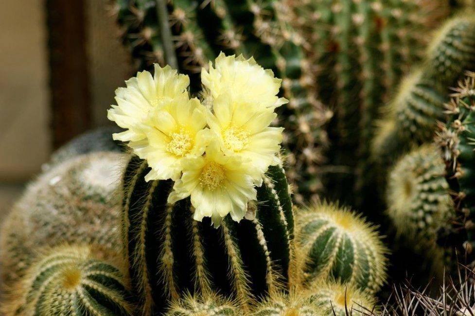 Белый кактус