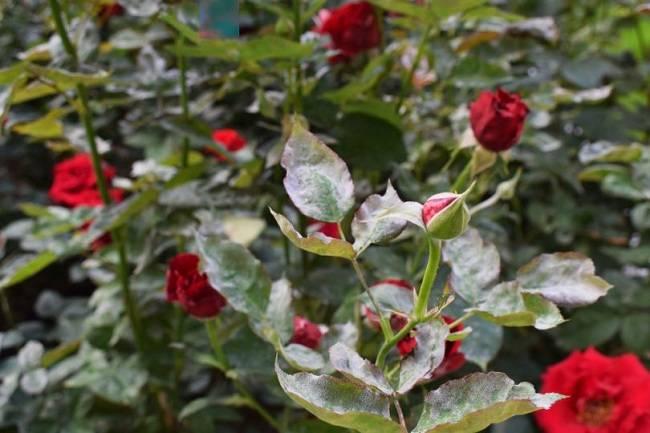Почему не цветет роза