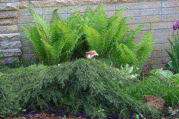 Лесной папоротник в домашних условиях