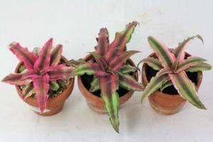 Домашнее растение с разноцветными листьями 155