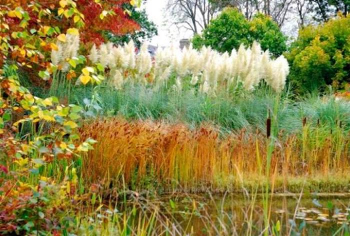 Пампасная трава посадка и уход
