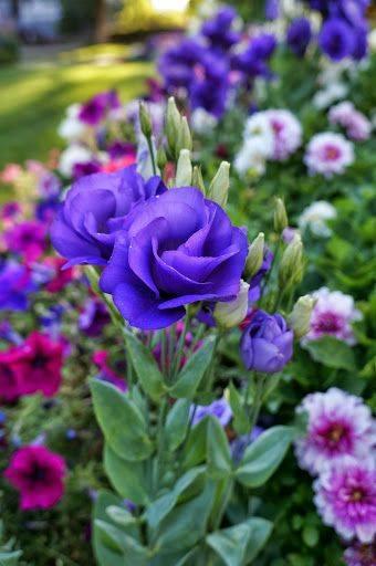 Выращивание эустомы