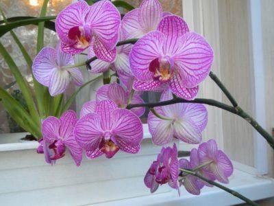 Орхидея болезни и лечение