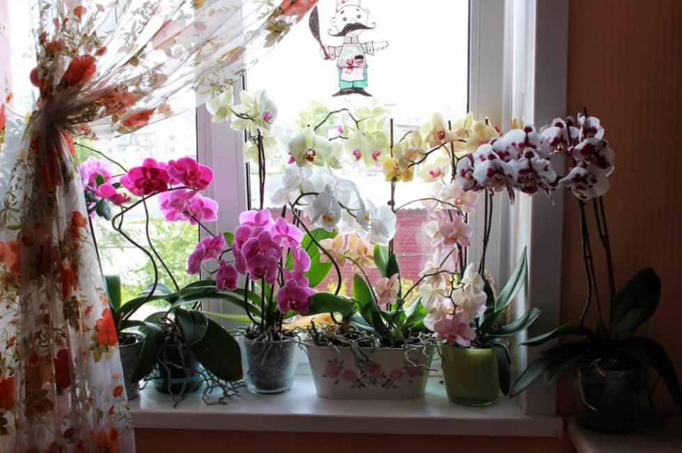 Почему засыхают бутоны у орхидеи