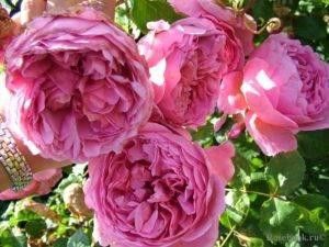 Роза селебрейшен