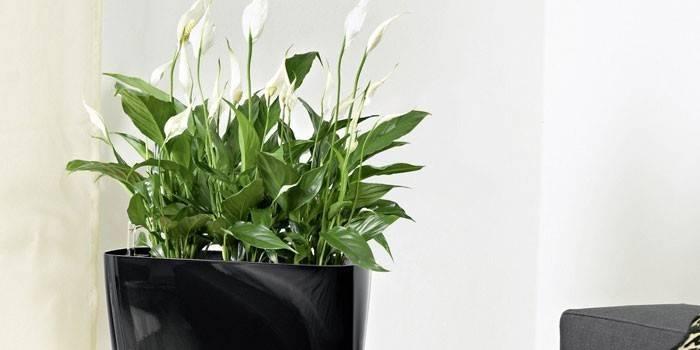 Как поливать цветок женское счастье в домашних? 14