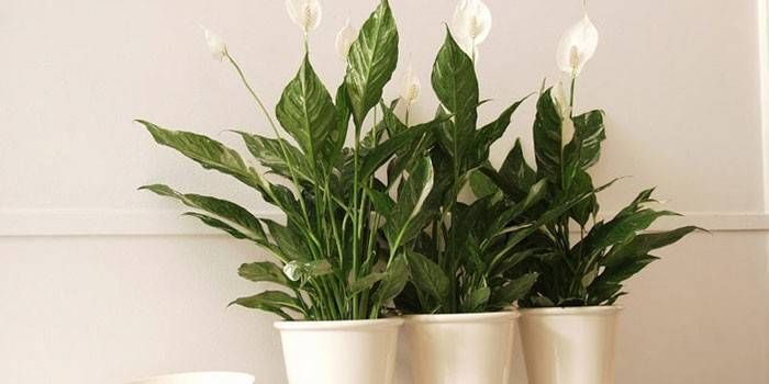 Как поливать цветок женское счастье в домашних? 32